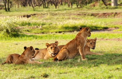 lions in national park