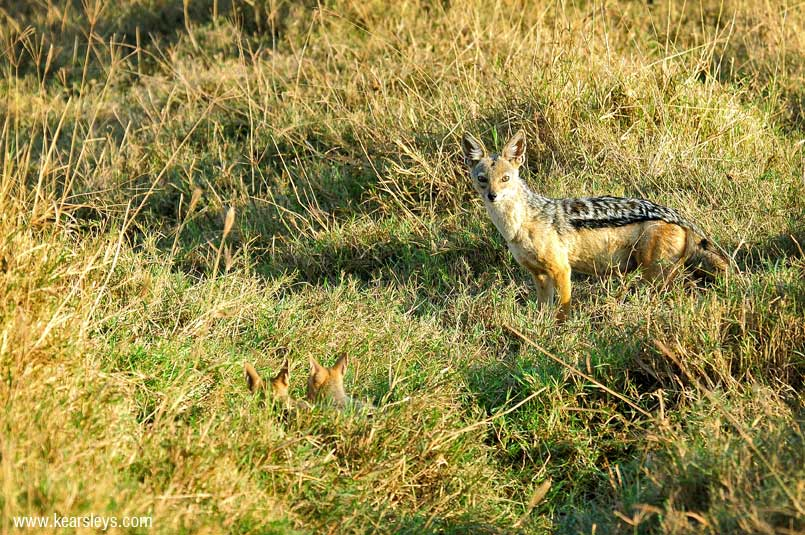 Black - Backed Jackal in tanzania