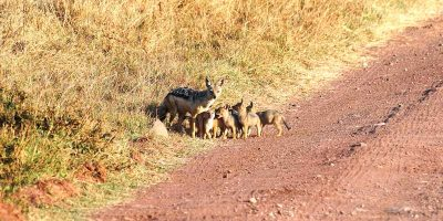 Black - Backed Jackal with pups
