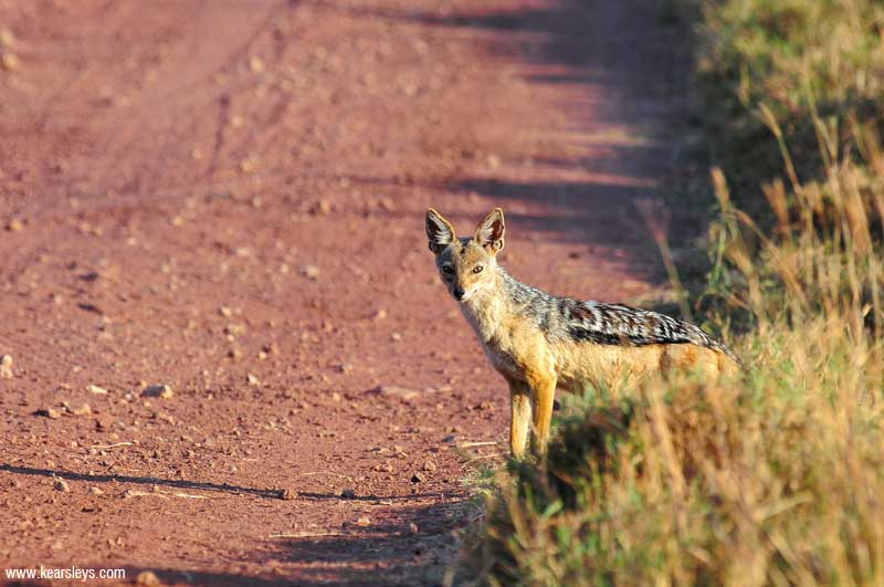Black - Backed Jackal