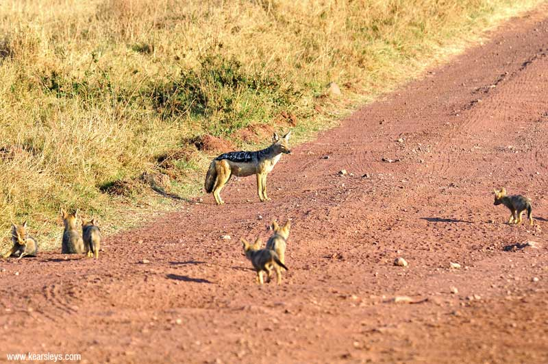 Jackal with pups