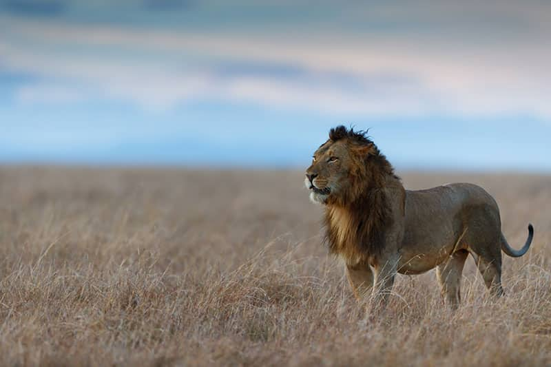 THE-LION-KING-LUXURY-EXPERIENCE