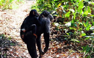 chimp with mother