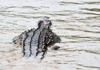 crocodile in lake