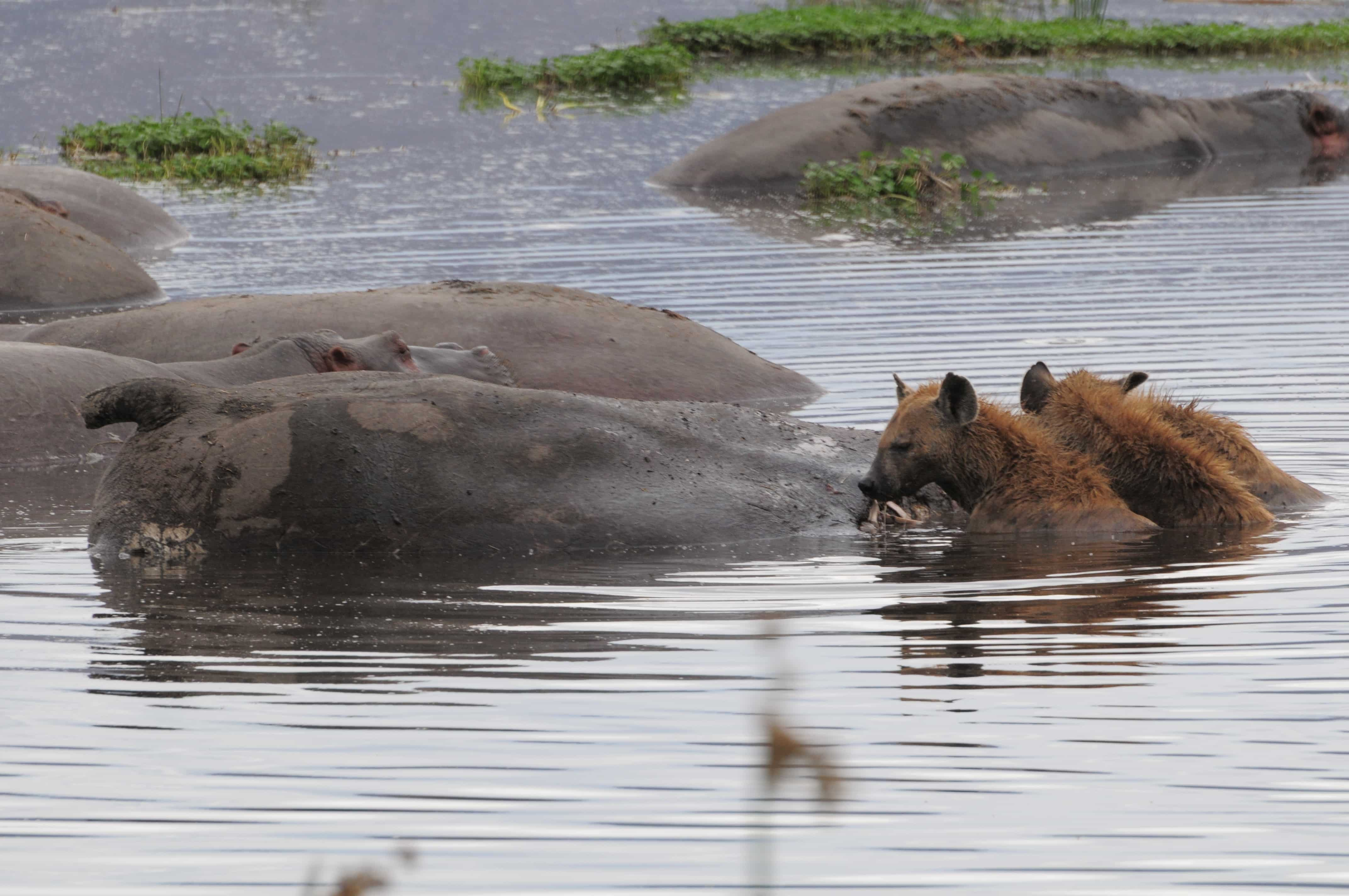 hippo in the pool with hyena