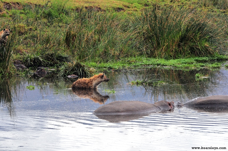 hyena in the hippo pool