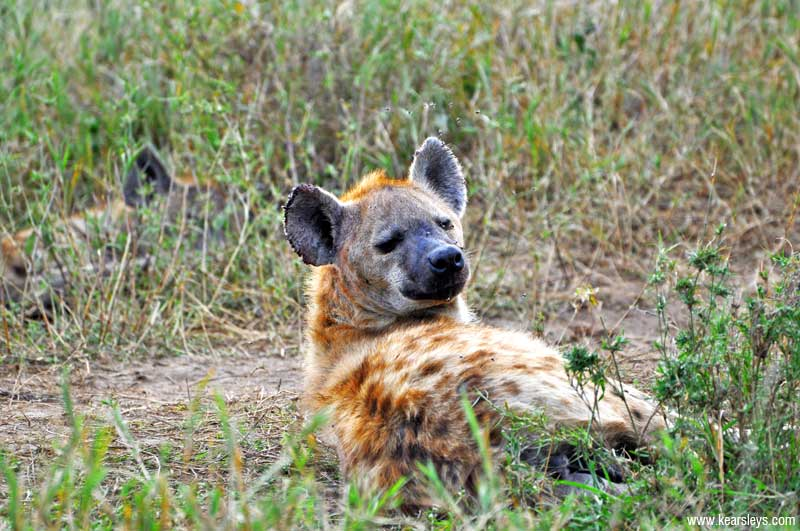 hyena looking you