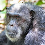 mahale national park chimp