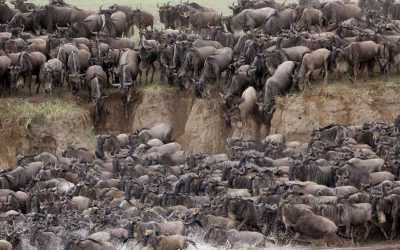 serengeti wildebeest migrating