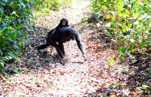walking chimpanzee with chimp